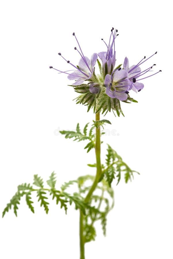 Lacy Phacelia Phacelia-tanacetifolia lizenzfreies stockbild