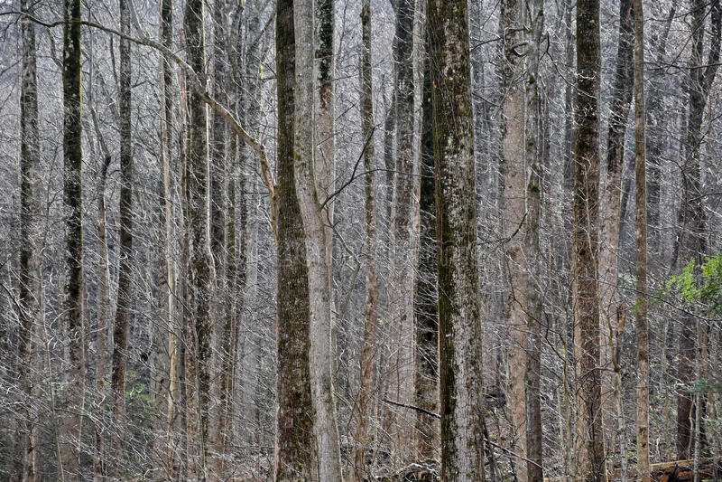 Lacy Wintry Forest ensolarado fotos de stock
