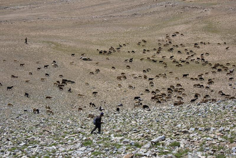 LADAKH, il JAMMU E KASHMIR, INDIA, luglio 2015, pastore guarda le sue pecore a Nubra, possibilità remota fotografie stock libere da diritti
