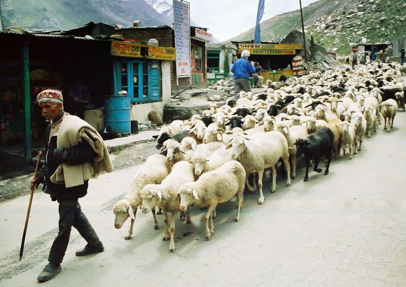 Ladakhi Schäfer lizenzfreie stockfotos