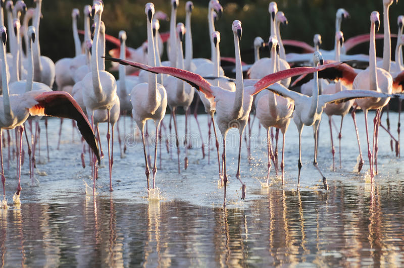 laddande flamingos flockas mer stor royaltyfria foton