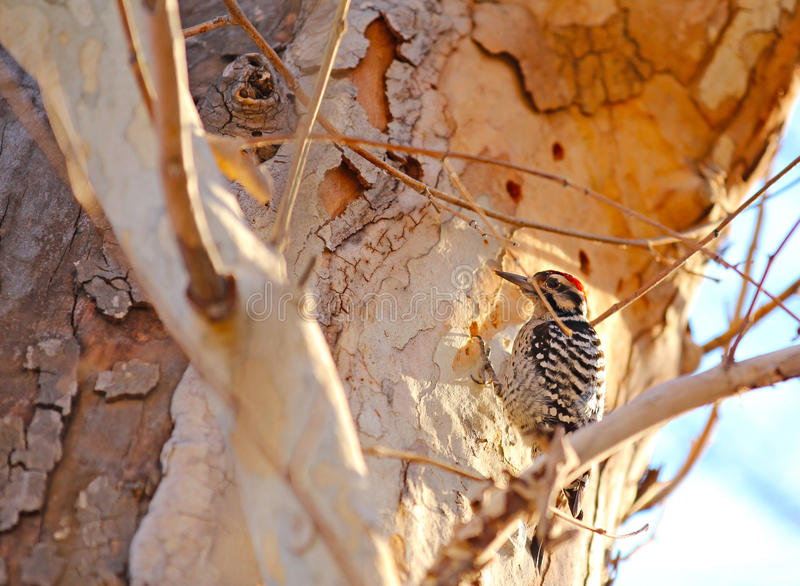 Ladder Backed Woodpecker royalty free stock photography