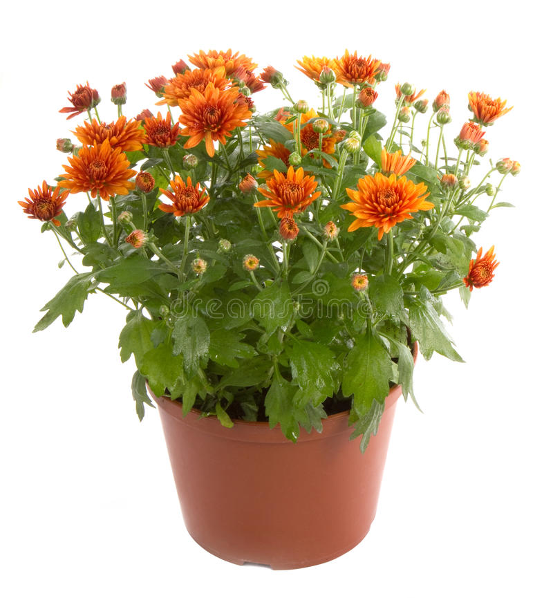 lade in chrysanthemumblommablommor royaltyfri foto