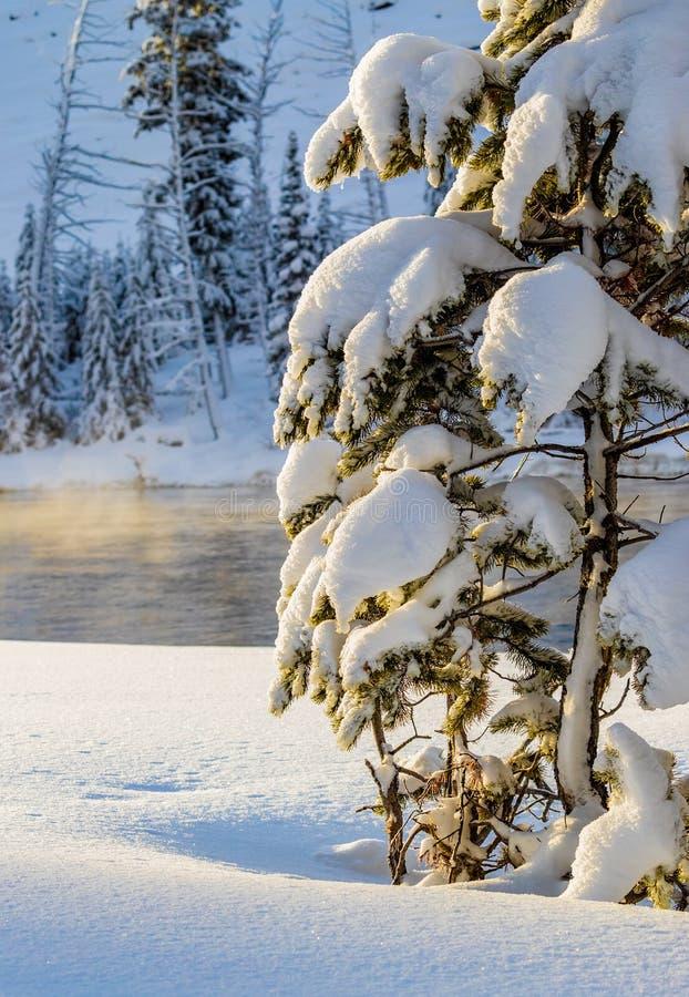 Laden snö sörjer trädställningar i djupa insnöade Yellowstone royaltyfri fotografi