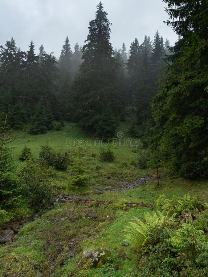 Ladera de la montaña fotografiada después de lluvia Montañas de Cárpatos, Ucrania del oeste Hierba verde y abetos en la colina sa fotografía de archivo