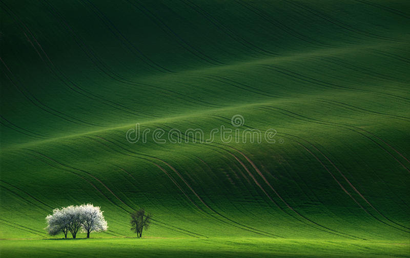 Ladies in White.White spring flowering trees on a background of a green hill, which is highlighted by the setting sun. Moravian green rolling landscape with stock photography