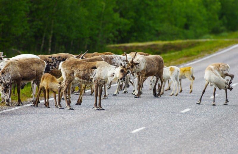 Lado de alimentación de la manada del reno del camino fotografía de archivo libre de regalías