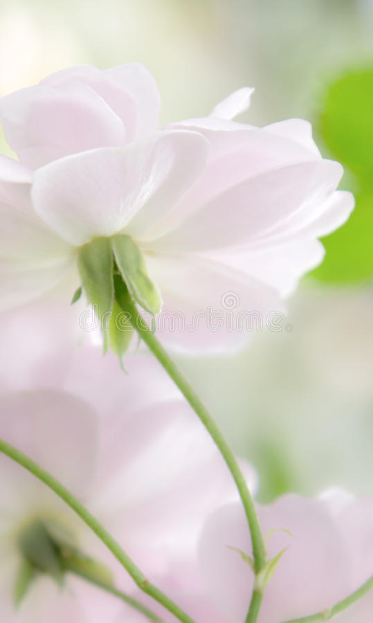 Lado de baixo de rosas do rosa pastel imagem de stock