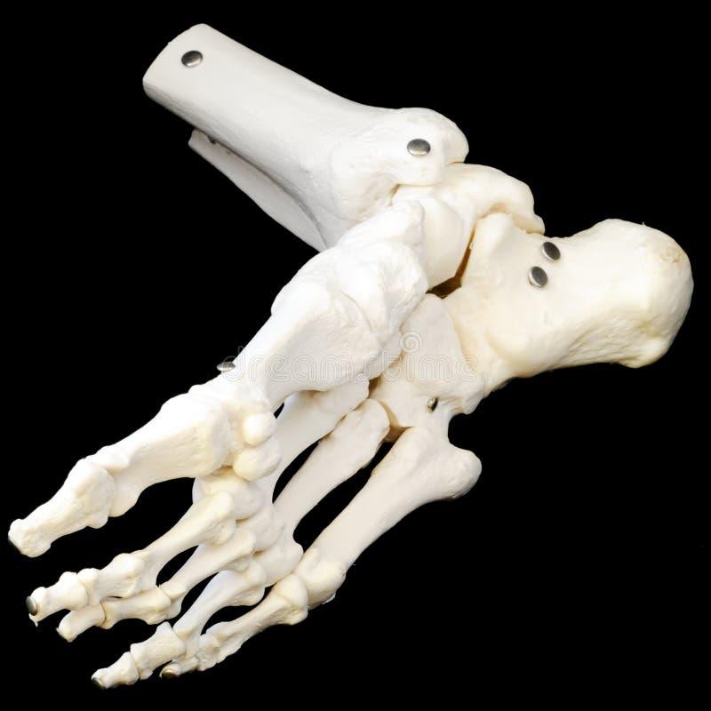 Lado de baixo do esqueleto do pé fotos de stock royalty free