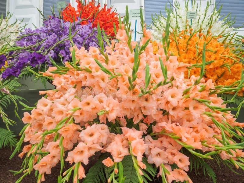 Lado derecho Chelsea Flower Show 2017 Exhibición abigarrada de los gladiolos imágenes de archivo libres de regalías