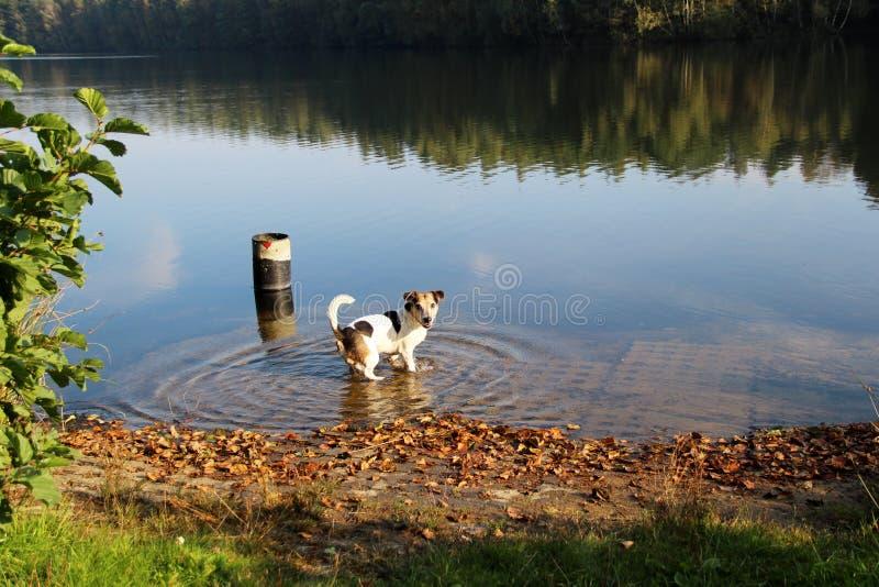 Lado e vista traseira em um tri suporte do terrier de Russel do jaque da cor no mar e para olhar para trás na câmera em para mepp imagem de stock