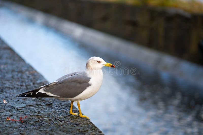 Lado japonês da gaivota do canal foto de stock