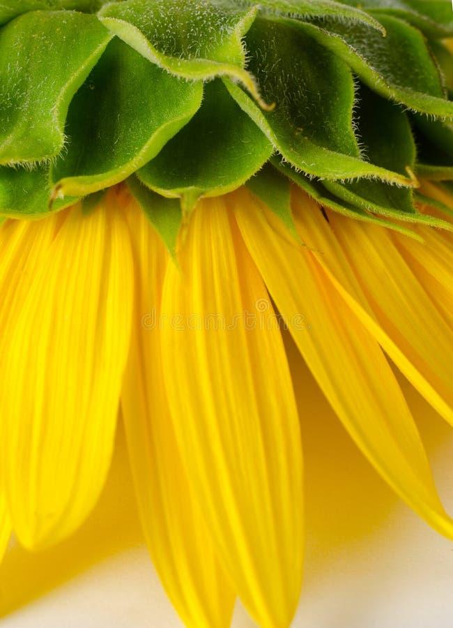 Lado trasero del girasol amarillo brillante Fondo floral imagen de archivo libre de regalías