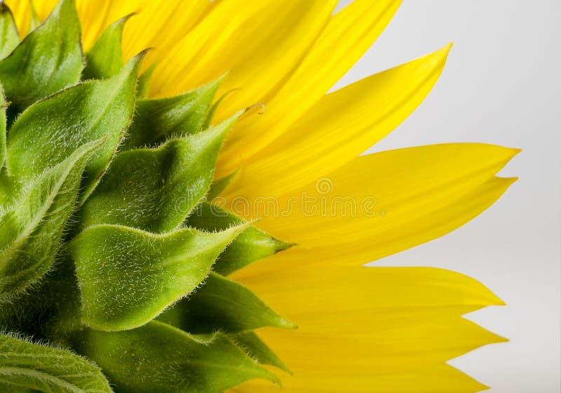 Lado trasero del girasol amarillo brillante Fondo floral foto de archivo