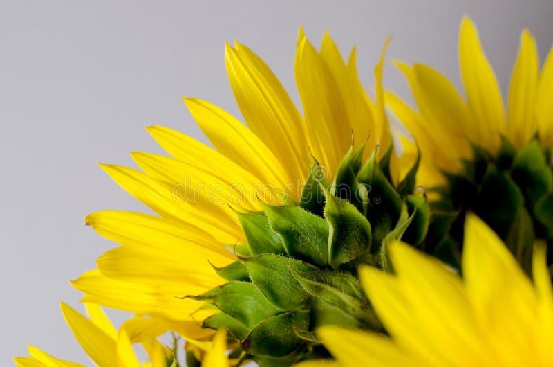 Lado trasero del girasol amarillo brillante Fondo floral imagenes de archivo