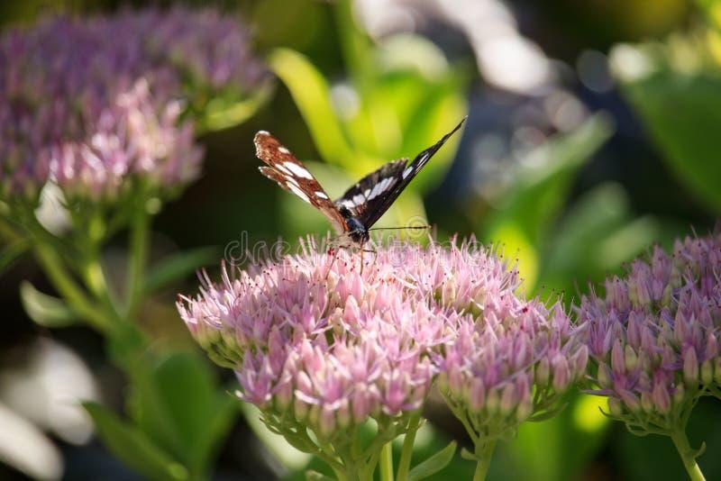 Ladoga Camilla sur la fleur spectabile de sedum photo stock