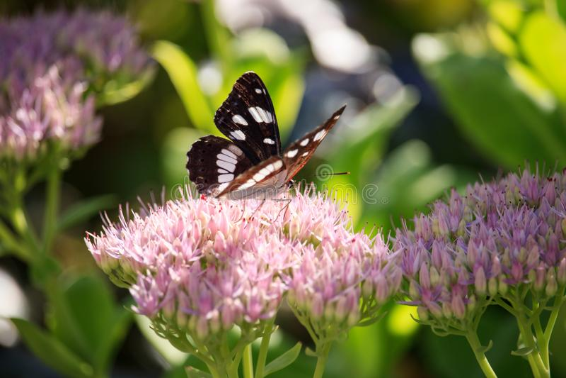 Ladoga Camilla sur la fleur spectabile de sedum image stock