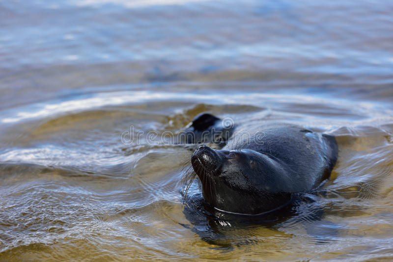 Ladoga ringed seal. In the lake Ladoga near Valaam island stock images