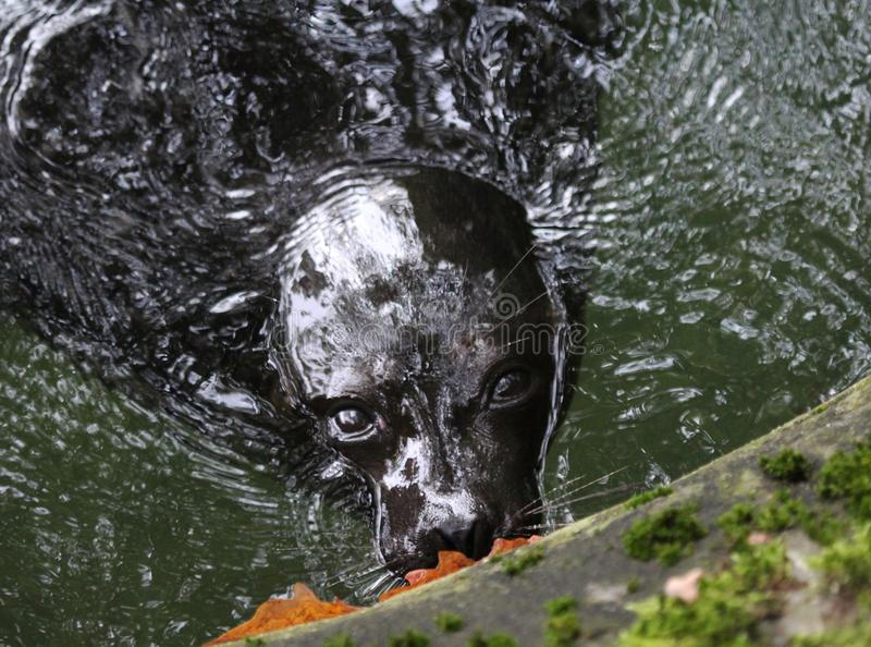 Ladoga ringed seal, Pusa hispida ladogensis royalty free stock photo