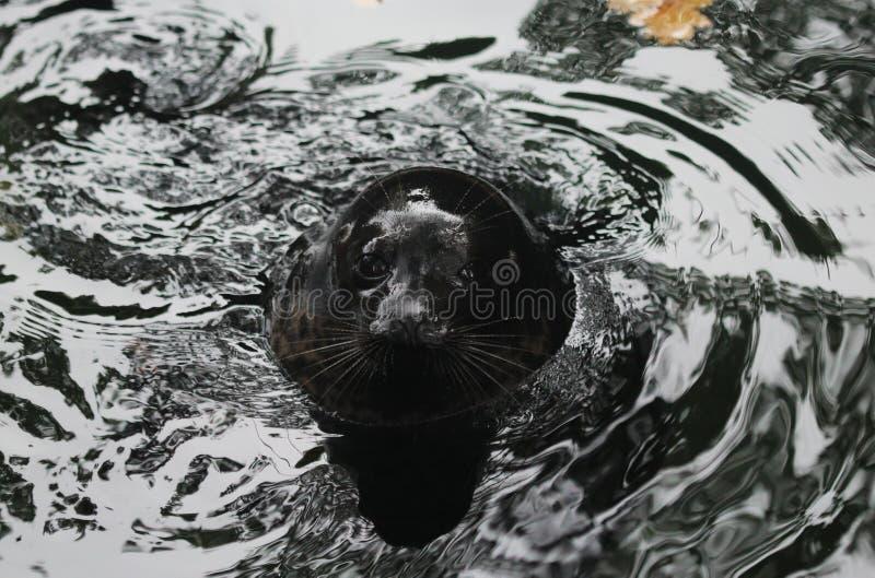 Ladoga ringed seal, Pusa hispida ladogensis stock image