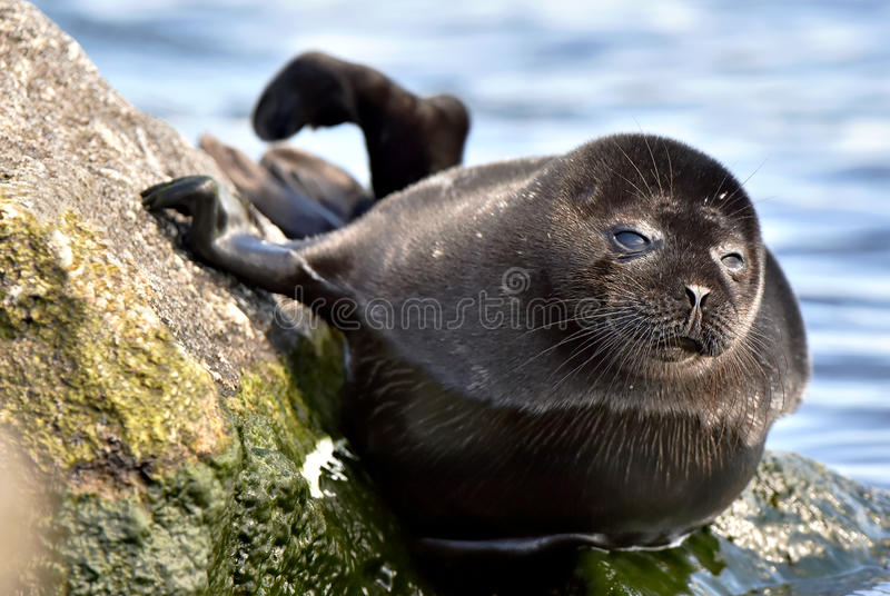 The Ladoga seal royalty free stock image