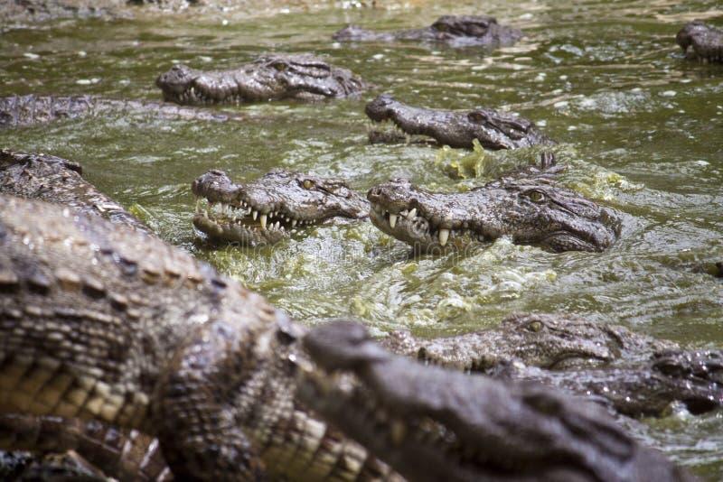 Ladrão ou crocodilo do pântano imagem de stock