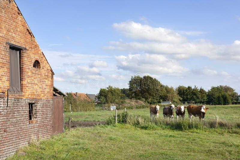Ladugård och kor i den flanders ängen mellan ghent och bruges i bel arkivfoto