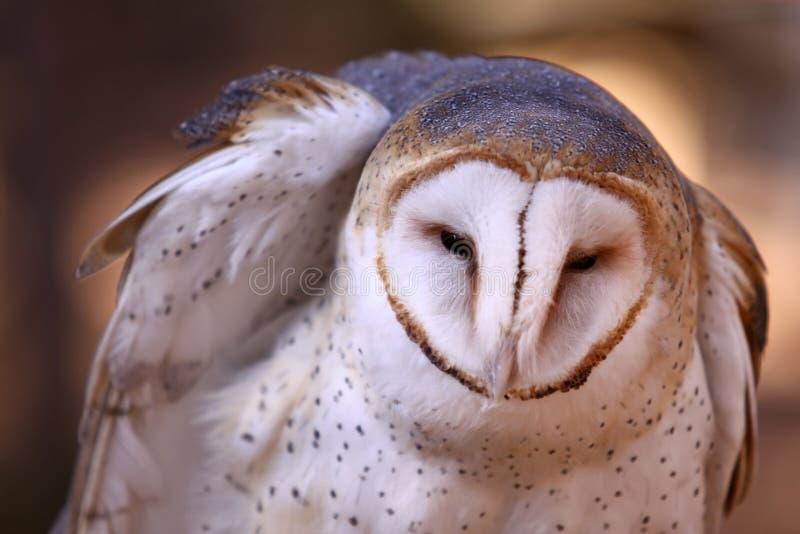 ladugården befjädrar den rufsade owlen royaltyfri foto