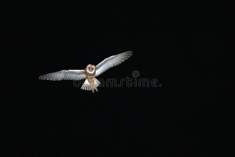 ladugårdowl fotografering för bildbyråer