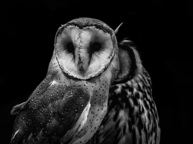 LadugårdOwl Tyto album och randig Owl Pseudoscops clamator i a royaltyfri bild