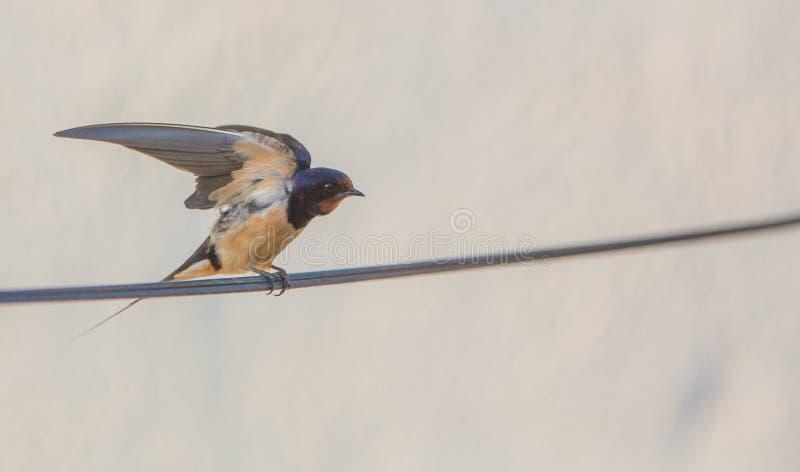 Ladugårdsvala med öppna vingar fotografering för bildbyråer