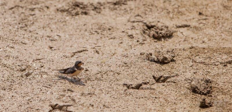 Ladugårdsvala med mud royaltyfria bilder