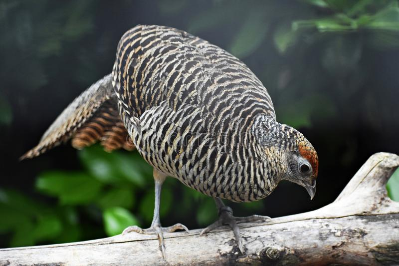 The Lady Amherst`s Pheasant, Chrysolophus Amherstiae, female. royalty free stock image