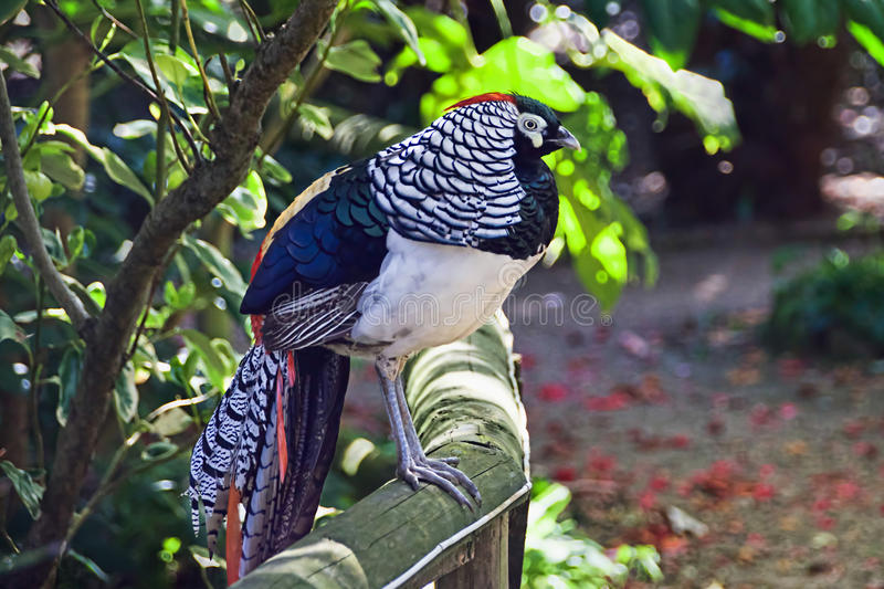 Lady Amherst's Pheasant. Rare to Britain a Lady Amherst's pheasant perched on a railing in a shaded garden royalty free stock images