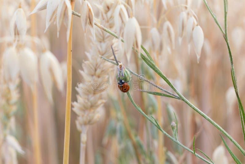 Lady beetle on gras stock photos