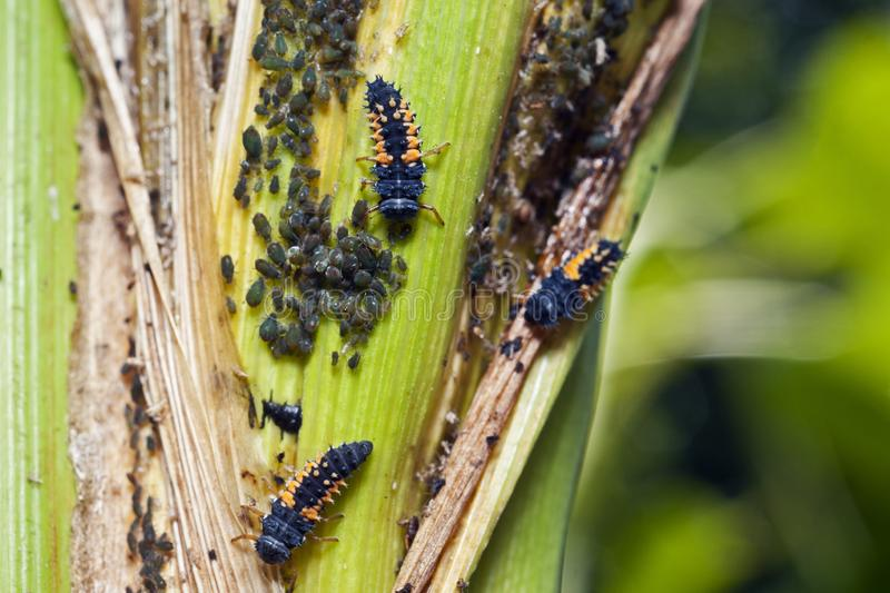 Lady beetle larva among an aphid colony on a corn plant. Lady beetle larva, which are a natural biological control and feed on aphids among an aphid colony on a stock photography