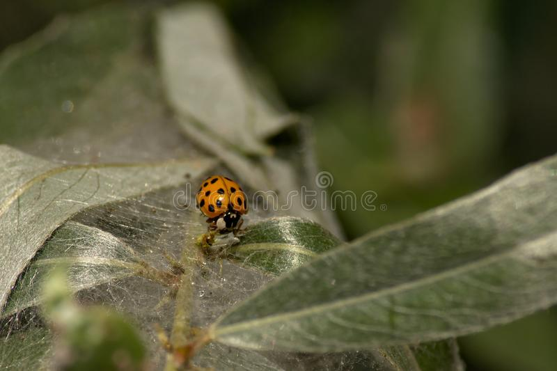 Lady beetle on a twig with hairy long leafs - Coccinellidae stock photos