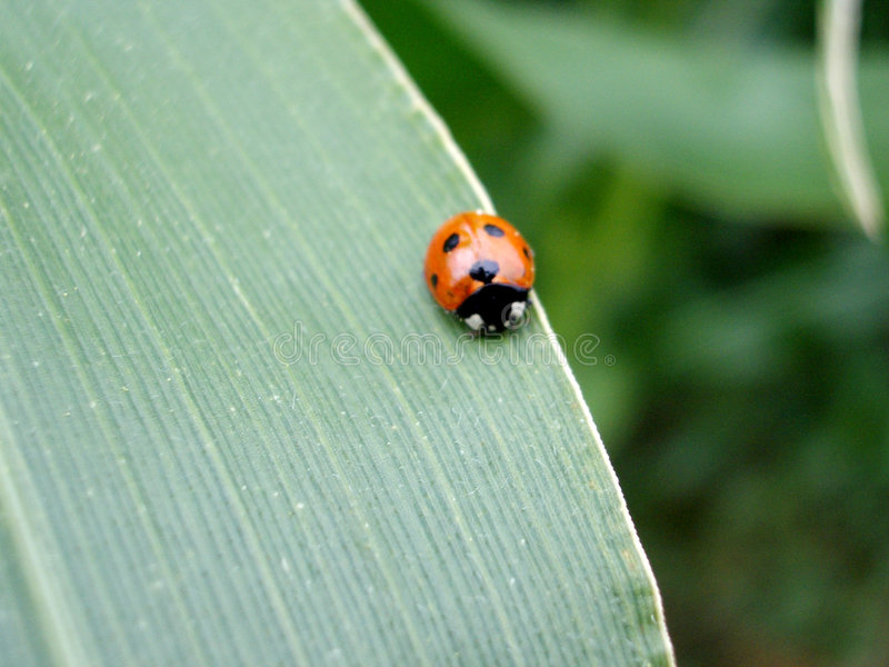 Download Lady bird stock photo. Image of spot, life, organic, insect - 24728