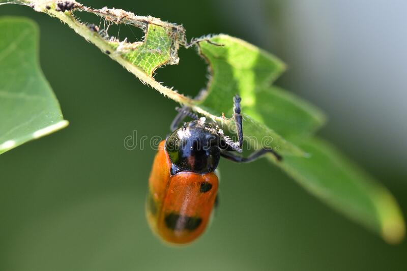 Lady bird eating leaf stock images