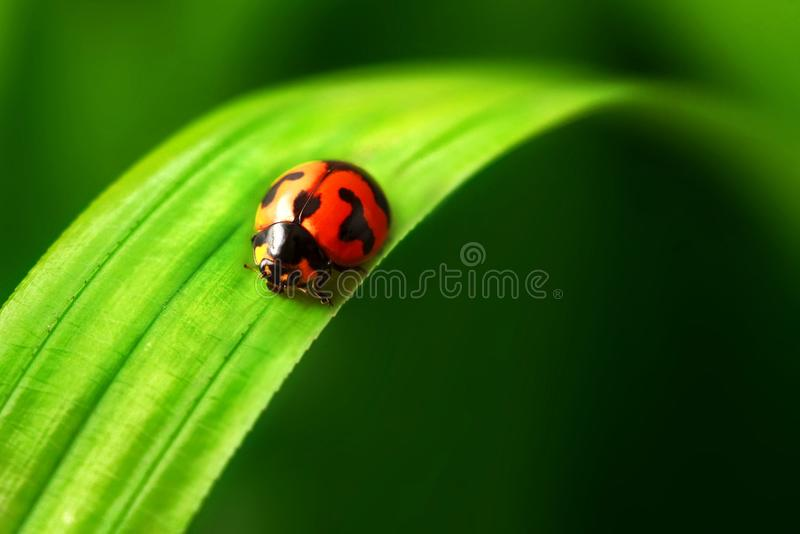 Lady bird on green leave. A little gorgeous Lady bird stay on a green leave royalty free stock images