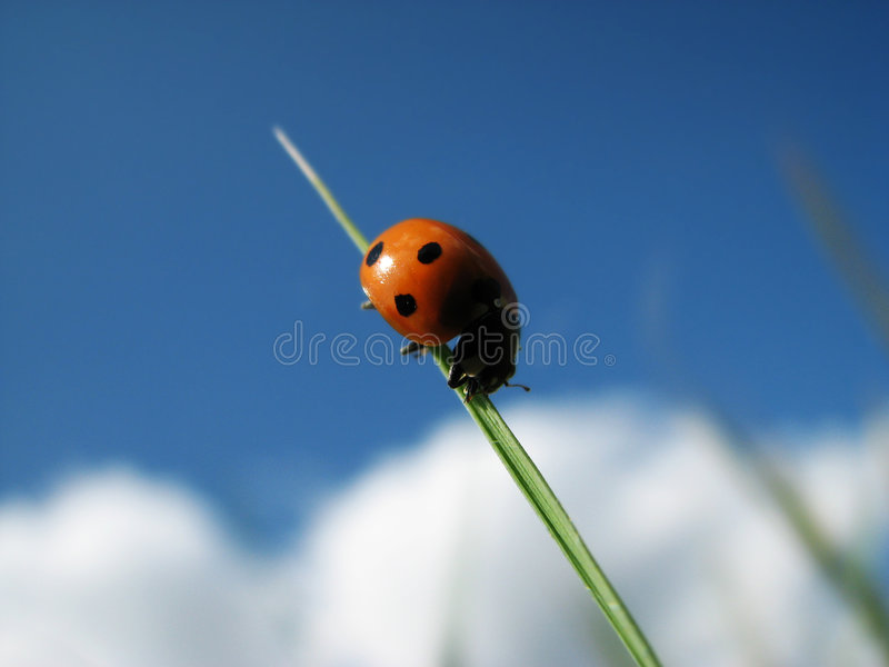 Lady bug. A lady bug on a stalk of grass stock image
