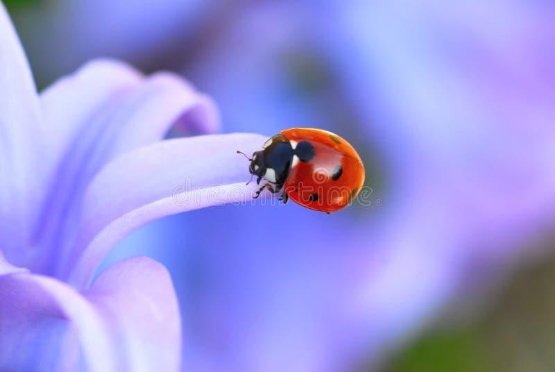 Lady-bug fotografía de archivo