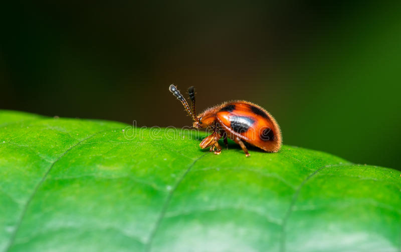 Download Lady Bug stock image. Image of hairy, insect, beauty - 25404989