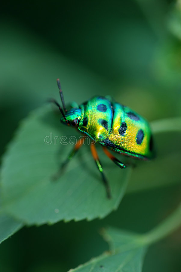 Lady bug. On a green leaf, close-up short stock photo