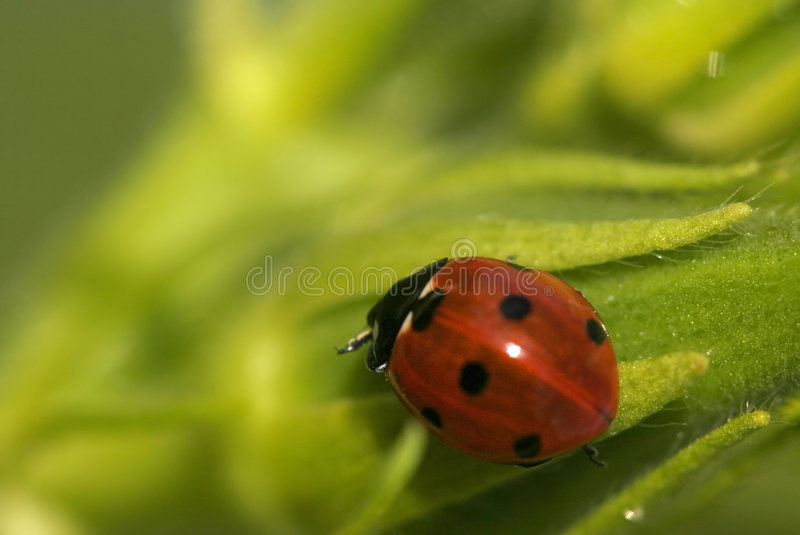 Download Lady Bug stock photo. Image of feeler, beetle, hair, plant - 6015210