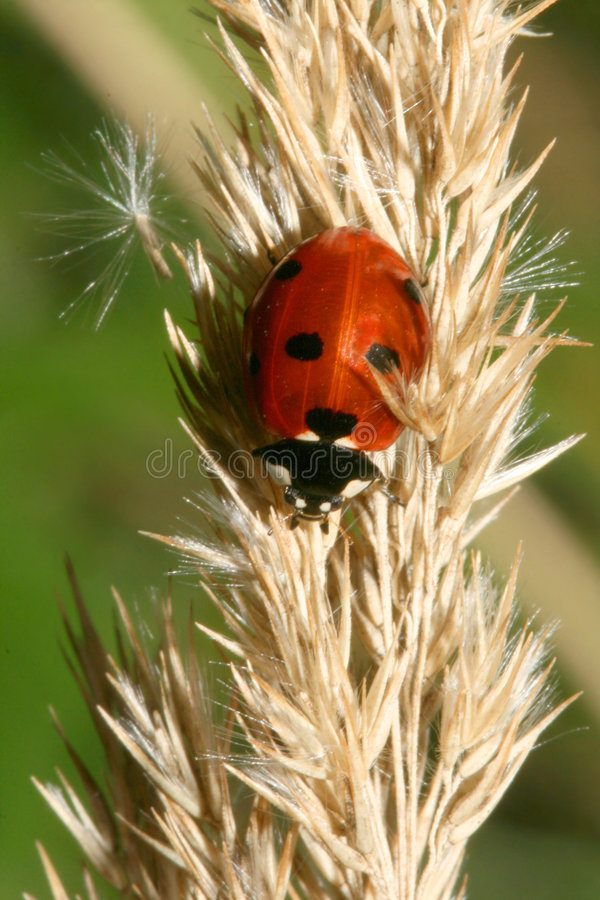 Lady-bug royalty free stock photography