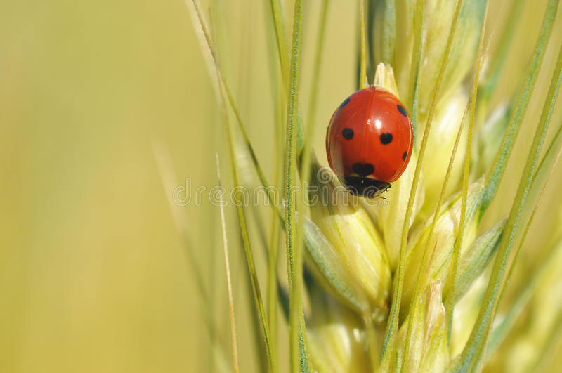 Download Lady bug stock photo. Image of plant, closeup, macro - 33462176
