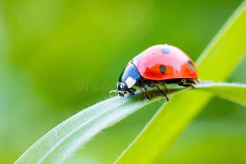 Lady Bug. On a blade of grass royalty free stock photography