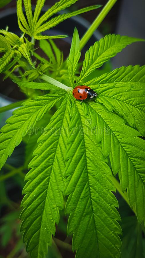 Lady bug closeup on big, green cannabis leaf royalty free stock photography