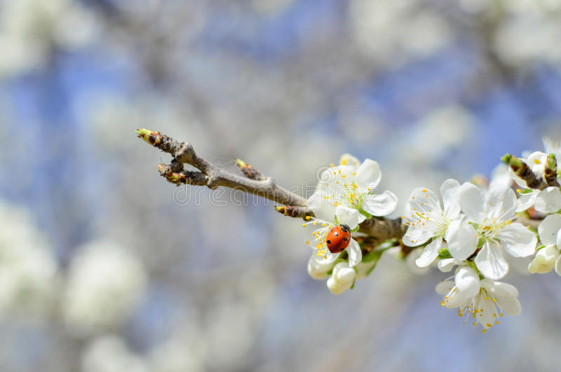 Lady bug on flowering branch royalty free stock images